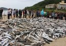 Safra de 2020 já passa de 290 mil tainhas pescadas em Florianópolis